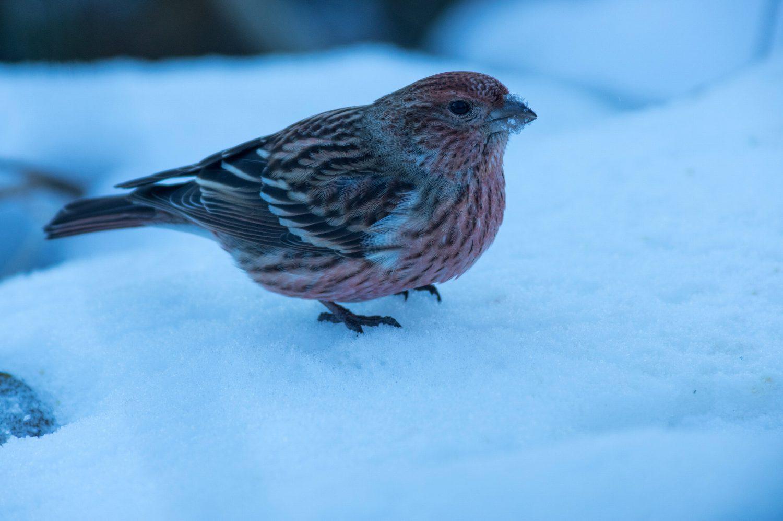 AFボーグ BORG71FLで撮影した野鳥・オオマシコの写真画像