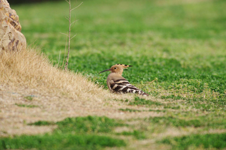 AFボーグ BORG90FLで撮影した野鳥・ヤツガシラの写真画像