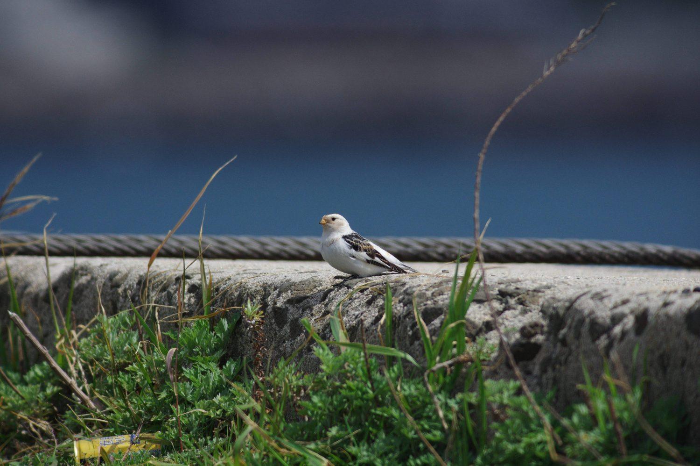 AFボーグ BORG90FLで撮影した野鳥・ユキホオジロの写真画像